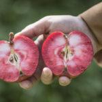 французский сорт яблок с красной мякотью Amour Rouge